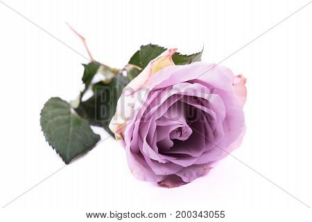Pastel purple, mauve color fresh summer rose isolated on white background.