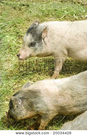 two furry spotted pigs on green grass poster