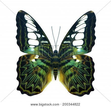 Green Golden Bird Wing Cruiser Butterfly
