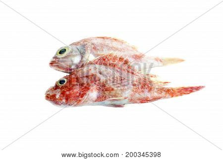 The red grouper on a white background closeup