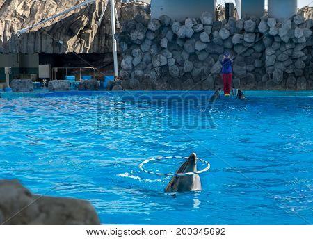 NAGOYA JAPAN - - DECEMBER 05 2015: Dolphin with hoop at Port of Nagoya Public Aquarium