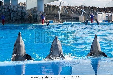 NAGOYA, JAPAN - DECEMBER 05, 2015: Dolphins at Port of Nagoya Public Aquarium