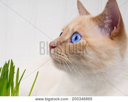 Cat Is Eating Fresh Green Grass. Cat Grass, Pet Grass. Natural Hairball Treatment, White, Red Pet Ca