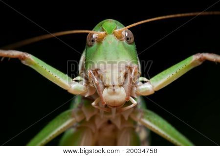 Isolated Locust On Black Background, Close-up
