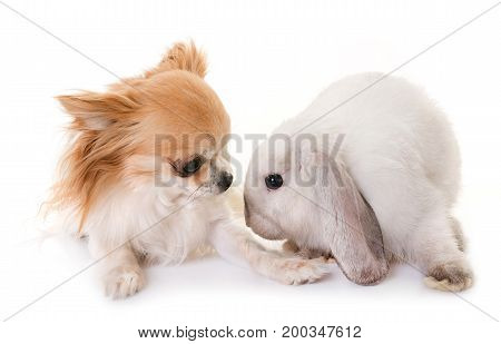 Mini Lop and chihuahua in front of white background