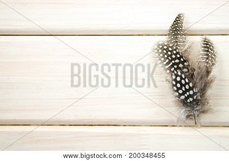 Studio shot of spread of three of black and white spotted patterned and textured guinea fowl feathers on white