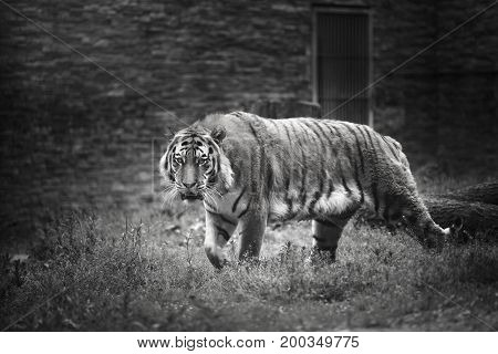 Tiger walks in a cage in the zoo