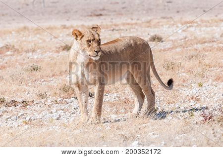 An African Lioness Panthera leo standing and looking sideways in Northern Namibia