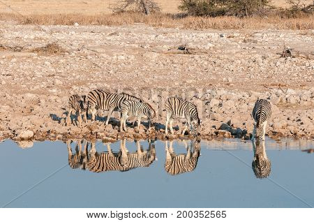 A herd of Burchells Zebras (Equus quagga burchellii) drinking water in a waterhole in Northern Namibia. Their reflections are visible in the water