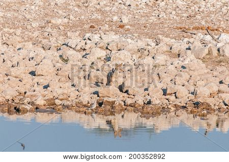 A black-backed jackal Canis mesomelas at a waterhole in Northern Namibia. Its reflection is visible in the water