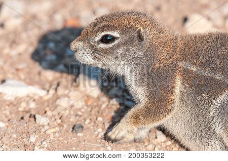 Profile of a cape ground squirrel Xerus inauris in Northern Namibia