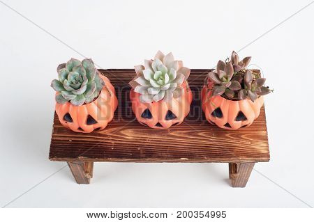 echeverias growing in halloween lantern pot for holiday decorations