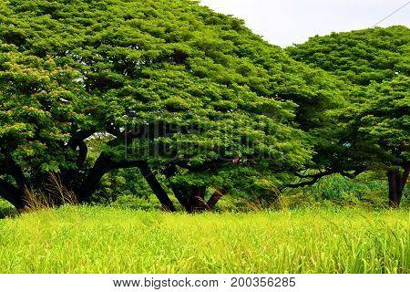 Rural grasslands surrounded by large trees taken in Kauai, HI