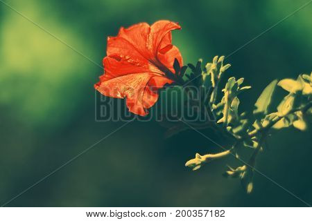 Red Petunia in autumn on a green background in the sunlight