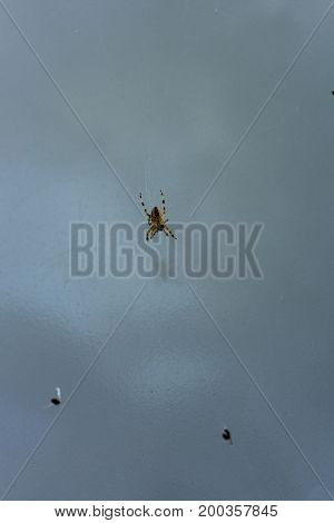 spider in web close up with fly ready to eat