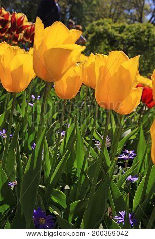 Yellow tulips field in spring garden, vertical image