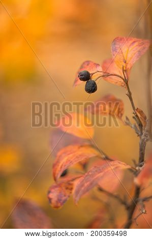 Red autumn leaves with black Rowan berries on a yellow background.