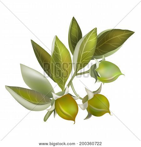 Vector Jojoba fruit, element for organic cosmetics