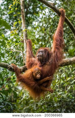 Free living orangutan mother with child. Malaysia part of Borneo, Sarawak.