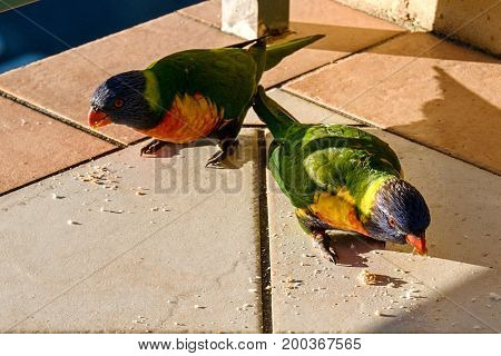 Multicolored vibrant Rainbow Lorikeet in bright sunshine feeding on breadcrumbs on the balcony floor of a fifth-floor apartment at Gosford Australia.