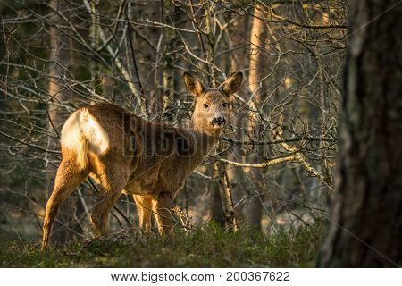 Wild living roe deer in forest at Furulunden, Mandal, Norway. Trees in teh background, evening light at spring time. Furulunden is a small pine forest next to the city centre of Mandal.