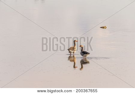 Two greylag geese sitting in the shallow waters of the Glomma estuary, in Fredrikstad, Norway.
