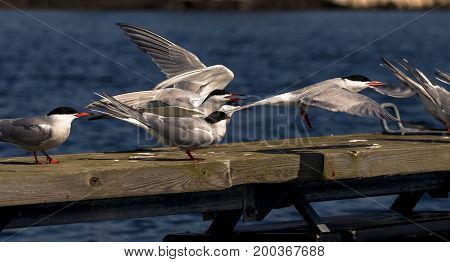 Common terns in Terneviga, Kristiansand, Norway. The terns are nesting in this area.