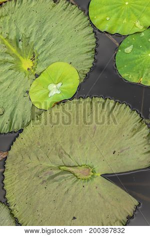 Different green water lily leafs in water pond, vertical