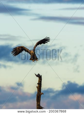 White Tailed Eagle, Haliaeetus albicilla landing in a tree top, vertical with copy space on top and left bottom side