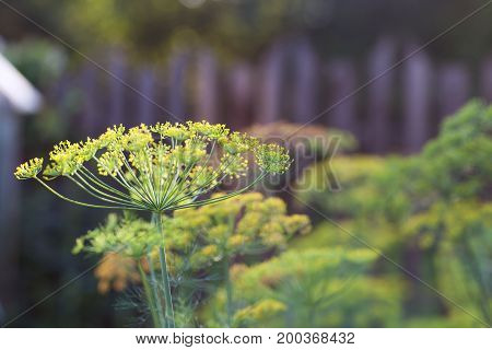 Grass dill closeup on blurred background with bokeh