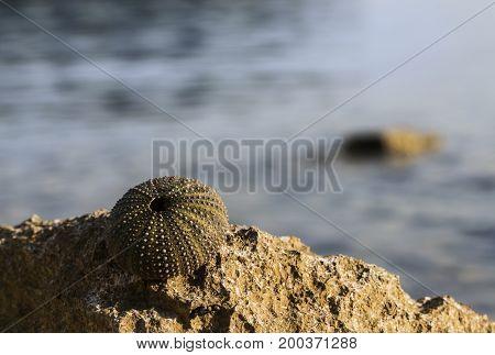 Empty shell of a Sea urchin near the sea.