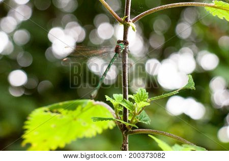 Beautiful Emerald Damselfly Resting On A Branch With Wings In Motion Up Close