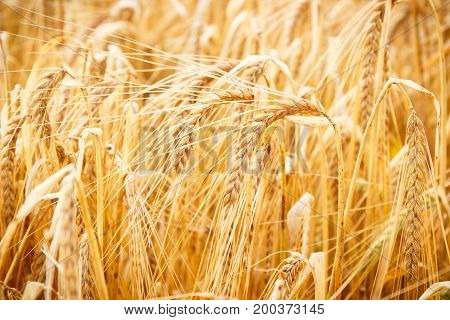 Ears Of Wheat Or Rye Ready For Harvest, Agriculture And Rural Concept