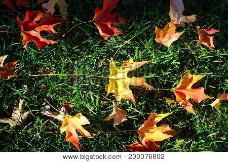 Autumn maple leafs on grass
