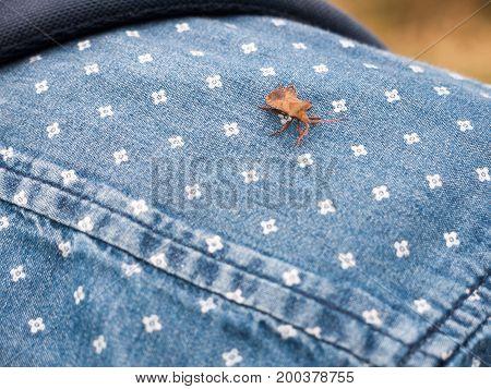 Cute Brown Dock Beetle Resting On A Shirt Shoulder