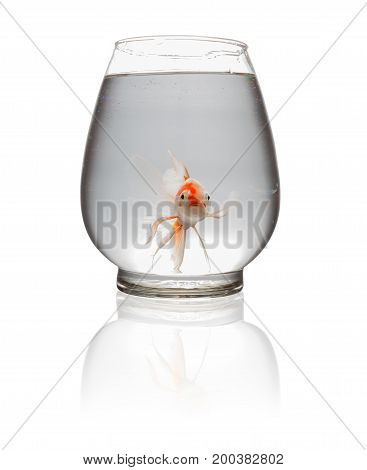 orange and white Koi carp looking at camera in a glass tank on white with clipping path
