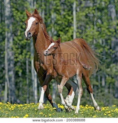 Chestnut Arabian Mare and Foal running together in spring meadow
