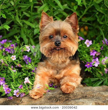 Yorkie in the flowers