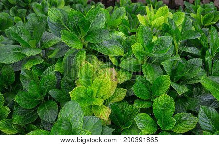 Green Hydrangea Plants At Sunny Day