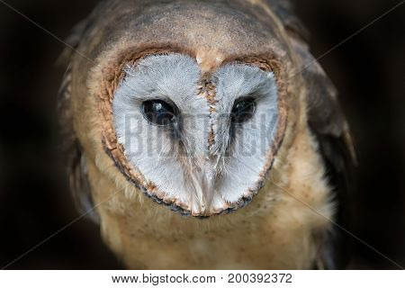 Close up head portrait photograph of a ashy faced barn owl Tyto glaucops looking slightly down to the right