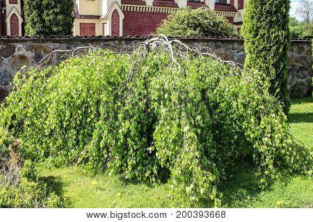 Inverted birch tree in garden , background