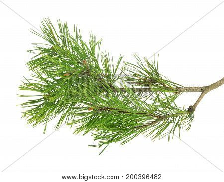 Pine Branch On  White Isolated Background
