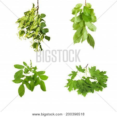 Branch With Green Leaves Isolated On White Background
