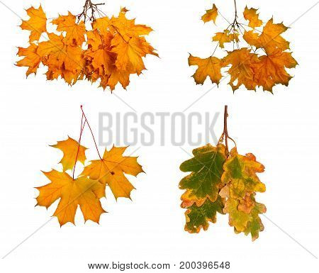 Set The Autumn Maple Branch With Leaves Isolated On Background