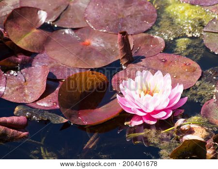 Close up of a pink water lily with multiple petals in a pond surrounded by round leaves.