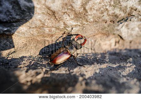 Beetle Of Lucanus Lucanus Cervus Or Stag Beetl In Wildlife On Rock Close Up Image