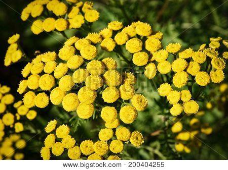 nature seasonal background Detail of flowers Tanacetum vulgare