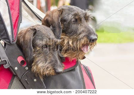 Two heads of terriers leaned out from the backpack, close-up. Concept: cute, home, friend, love, affection, kindness, care. Space under the text. 2018 year of the dog in the eastern calendar