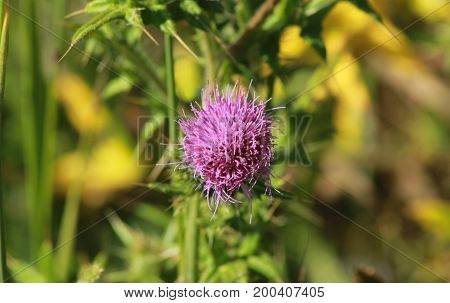 Thistle/This is a lilac thistle on summer.