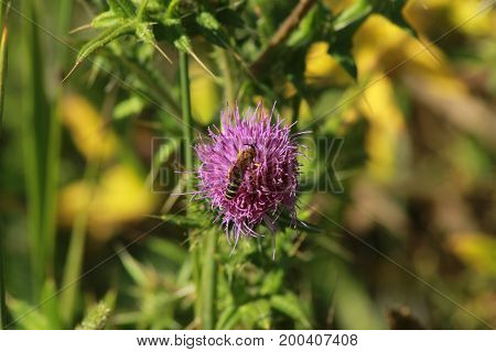 Thistle with wasp/ This is a lilac thistle on summer.